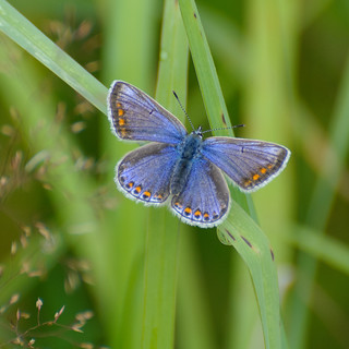 female common blue!