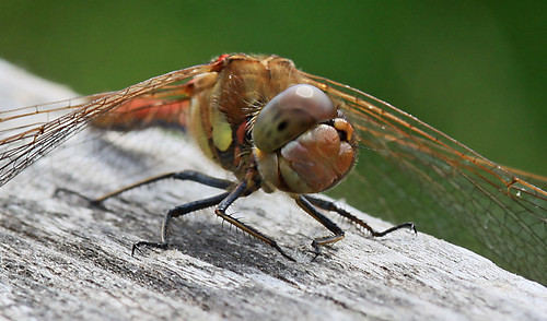 Common darter 'smiling'