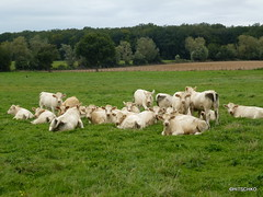 Charolais-Rinder auf der Weide - Photo of Frontenard