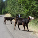 Crazy cattle in the road