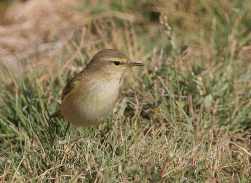 birds israel phylloscopus leafwarblers