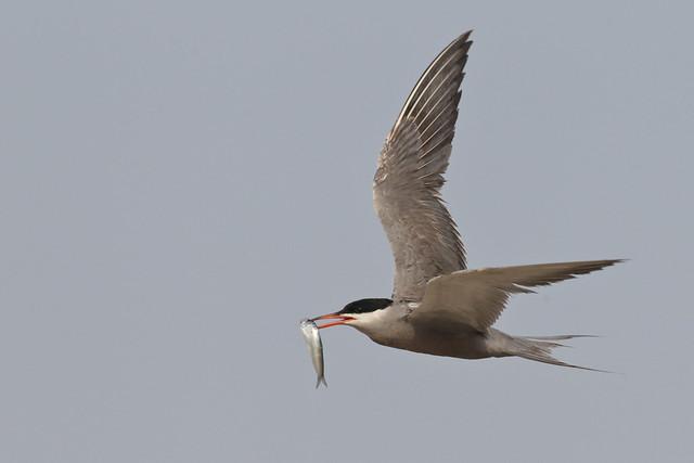 White-cheeked Tern الخرشنة بيضاء الخد