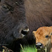 Bison Cow and Calf by Daryl L. Hunter - Hole Picture Photo Safaris
