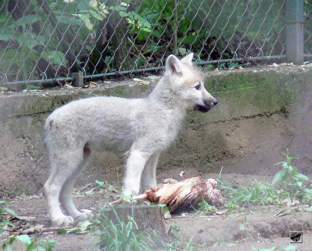 Kanadai fehér farkas - Arctic wolf