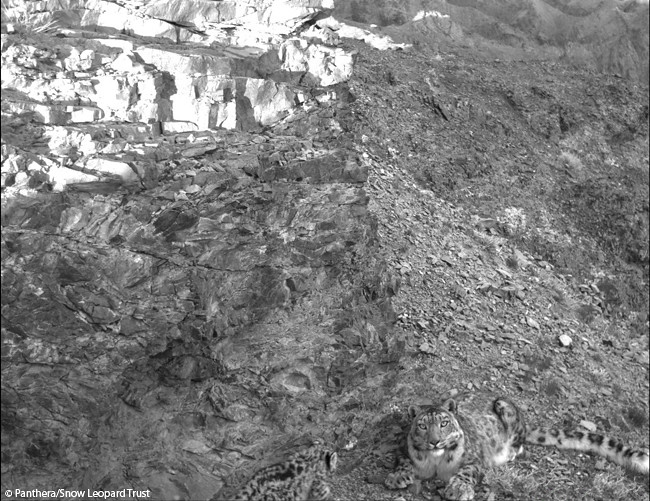 Can you spot the snow leopard cub?