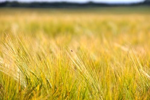 field horizon grain falköping