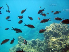 school of chromis (and mystery fish)