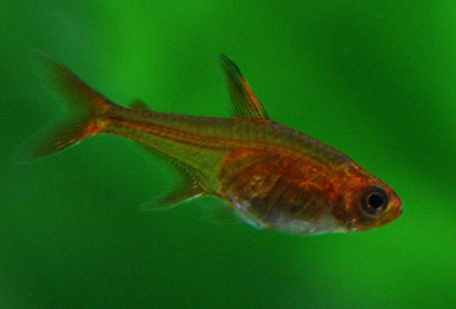 Ember Tetra -- Hyphessobrycon amandae Flickr - Photo Sharing!