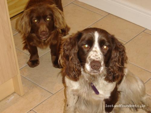 Fri, Jul 15th, 2011 Lost Female Dog - Ballycrystal, Geashill, Offaly
