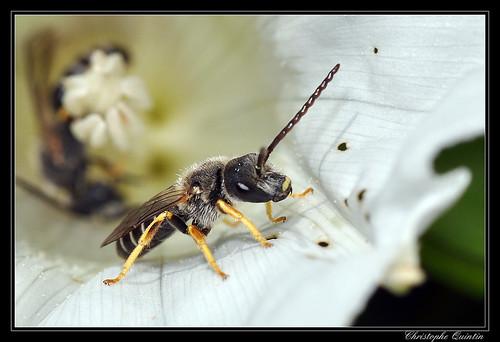 Halictus sp. (H. compressus ou H. langobardicus)