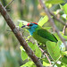 Blue-throated Barbet (Julian Thomas)