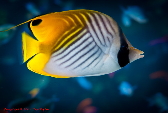 Orange striped cardinal fish phrase