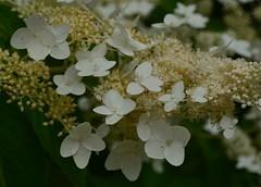 blossom(0.0), branch(0.0), guelder rose(0.0), shrub(1.0), flower(1.0), leaf(1.0), hydrangea serrata(1.0), plant(1.0), nature(1.0), macro photography(1.0), flora(1.0), petal(1.0),