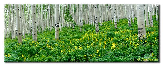 Aspen Forest Spring
