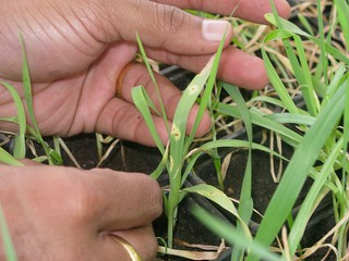 Examining wheat seedlings infected with Ug99 stem rust in screenhouse at Njoro | by CIMMYT