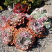 Lust is a terrible thing!  Echeveria 'Crinoline Ruffles' by Kelley Macdonald