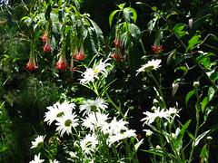 Fuchsia boliviana, Shasta daisy