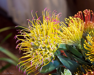 Arrangement of Pincusion Proteas