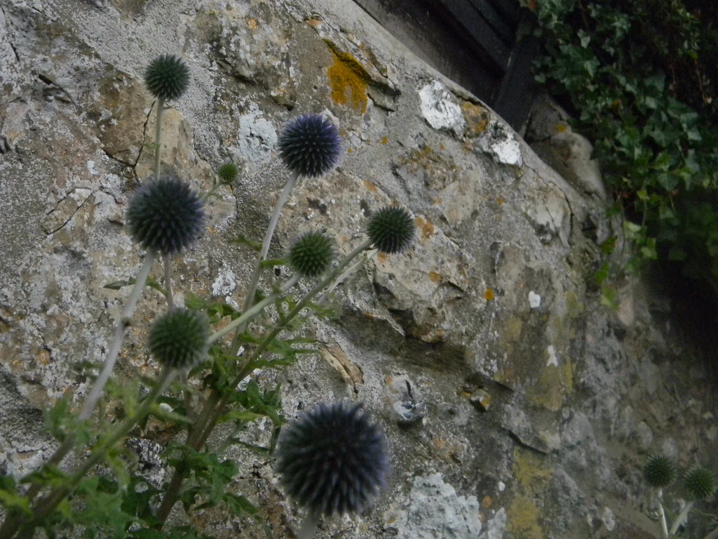 Globe thistle, Amberley Pulborough Circular
