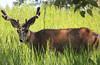 Deer in Inglewood, Calgary