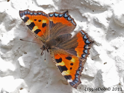 Small Tortoiseshell Butterfly Basking on the Wall of My House.