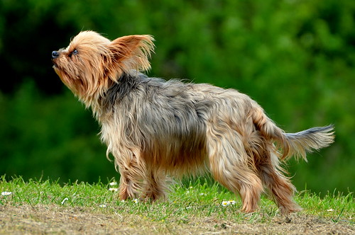 "Yorkie ""Amy"" Smells The Air For Any Scent Of Rabbits .. Love You Amy"
