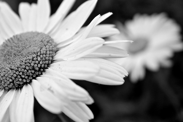 B/W Daisy