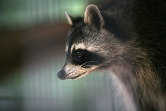 virginia opossum(0.0), wildlife(0.0), animal(1.0), raccoon(1.0), mammal(1.0), fauna(1.0), close-up(1.0), whiskers(1.0), procyon(1.0),