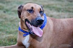dog sports, dog breed, animal, broholmer, dog, pet, mammal, black mouth cur,