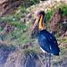 Lesser Adjutant Stork (Ron Brown)