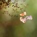 Hydrangea by borealnz