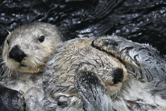 animal, rodent, mustelidae, fauna, sea otter, close-up, whiskers, wildlife,