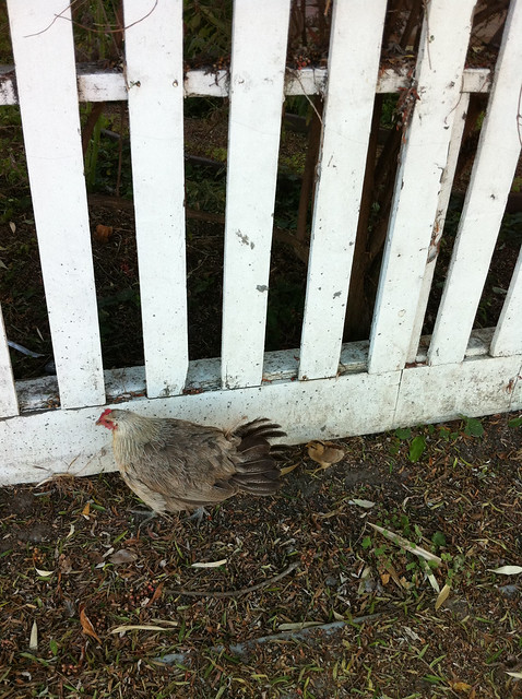 Chicken with her Chicks