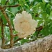 Small photo of Baobab Flower (Adansonia digitata)