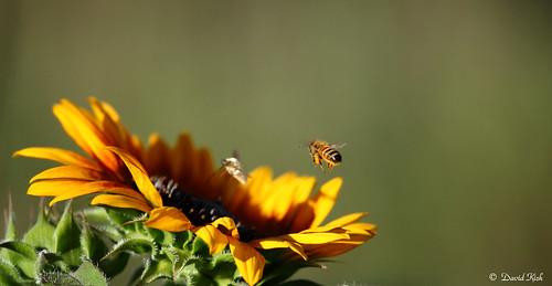 colorado bee honeybee sunlower