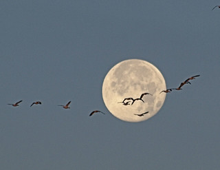 Snow Geese & Moon -- Explored