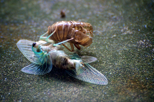 Cicada coming out of it s shell flickr photo sharing