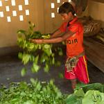 Sorting and Drying Betel Leaves in Khashia Village - Srimongal, Bangladesh