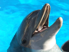 animal, marine mammal, common bottlenose dolphin, marine biology, dolphin, rough-toothed dolphin,