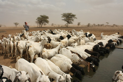 Goats drinking water at an Oxfam funded borehole
