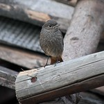 Q 99A Black redstart young