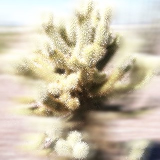 jumping cholla (ode to wallah)