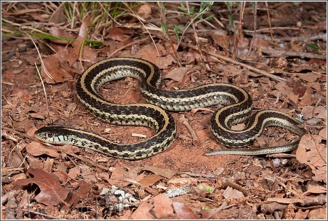 Texas garter snake thamnophis sirtalis annectans Garden snakes in texas