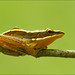 Small photo of Golden frog, Agumbe.