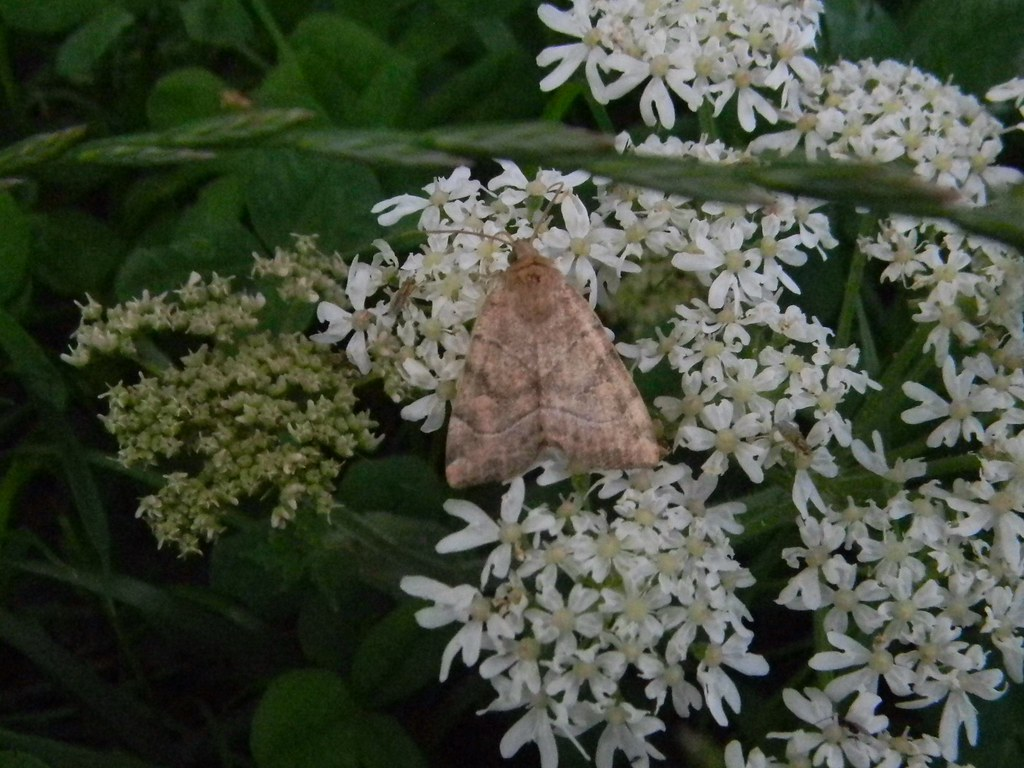 Ingrailed Clay? Merstham to Tattenham Corner A very familiar lookin' moth but hard to pin a moniker to.
