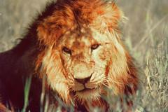 roar(0.0), animal(1.0), mane(1.0), big cats(1.0), masai lion(1.0), lion(1.0), snout(1.0), mammal(1.0), fauna(1.0), close-up(1.0), whiskers(1.0), savanna(1.0), safari(1.0), wildlife(1.0),
