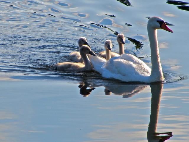 Cisne con sus crías - Estados Unidos
