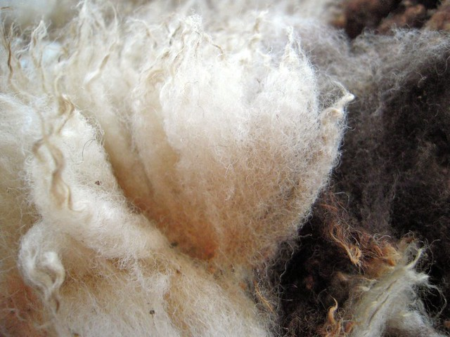 jacob sheep wool fleece locks