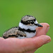 Baby Killdeer by John Stephenson Photography