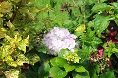 garden(0.0), annual plant(1.0), shrub(1.0), cornales(1.0), flower(1.0), hydrangea serrata(1.0), plant(1.0), herb(1.0),